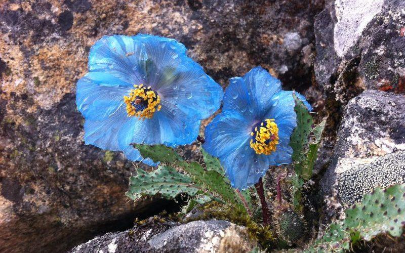 Blue poppy Trek